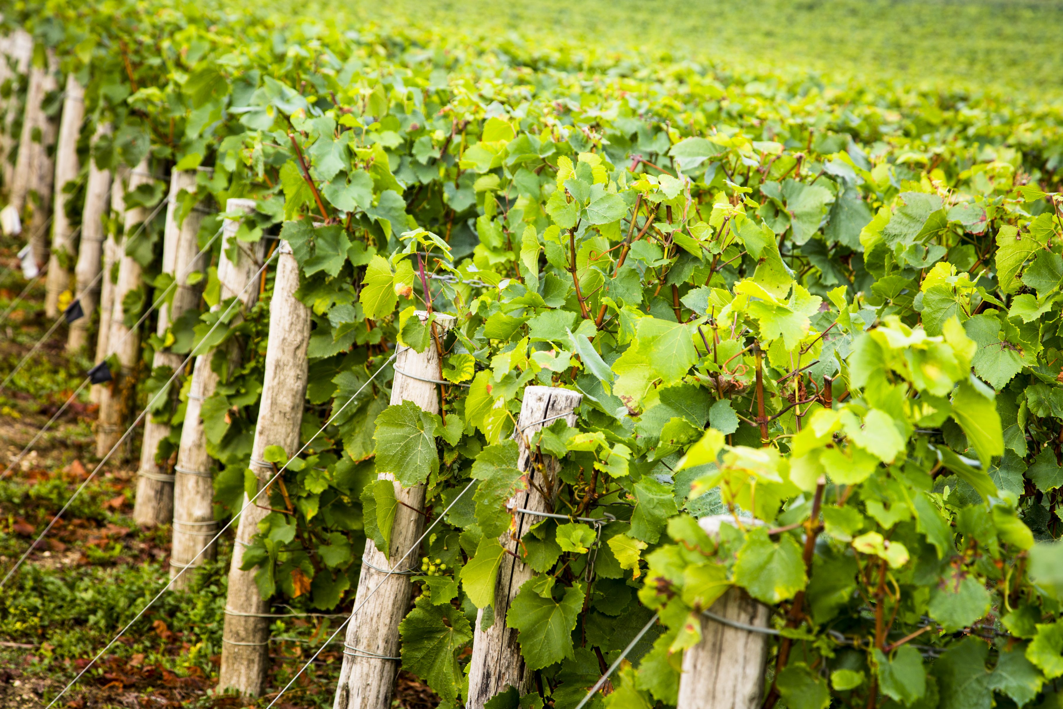 Telmont vineyard