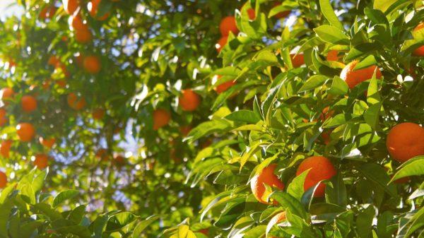 Champs d'orangers